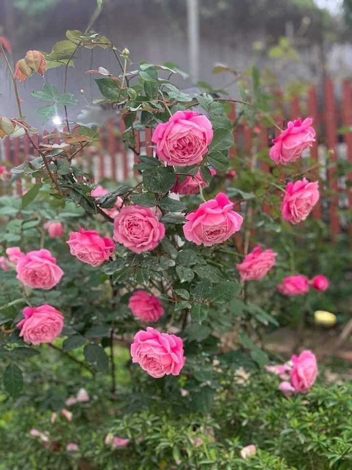 cách chăm sóc hoa hồng cổ sapa