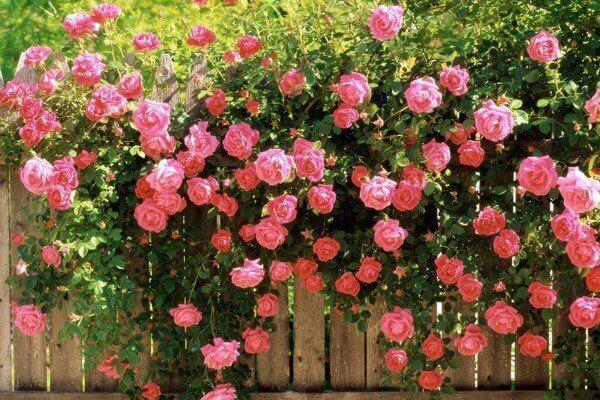 vườn hoa hồng cổ sapa