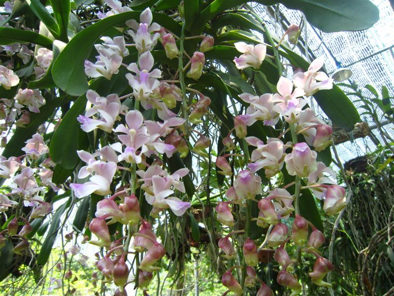 hoa lan tam bảo sắc nở rộ