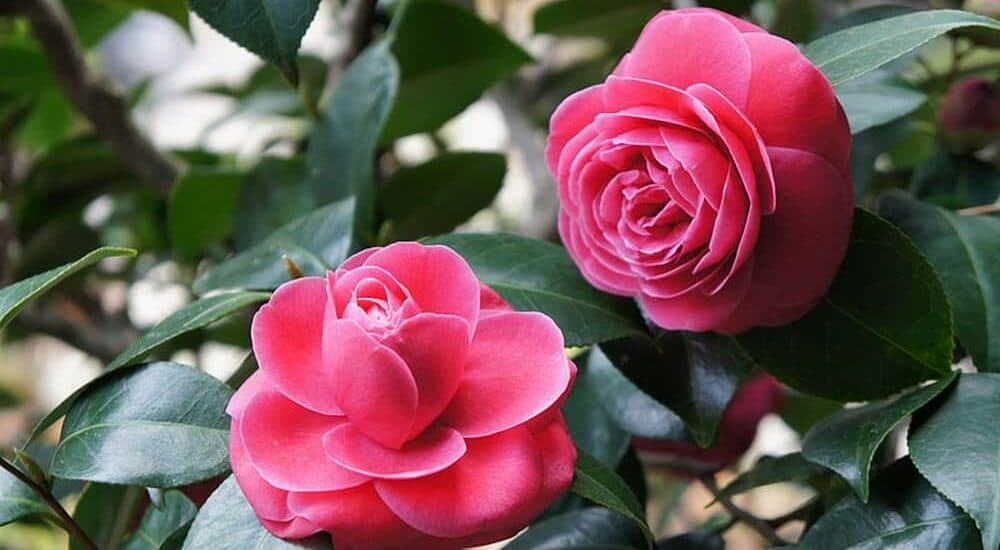 cây hoa trà nở hoa đẹp tuyệt vời