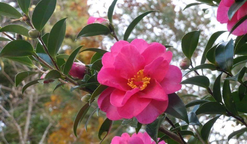 cây hoa trà có ý nghĩa gì