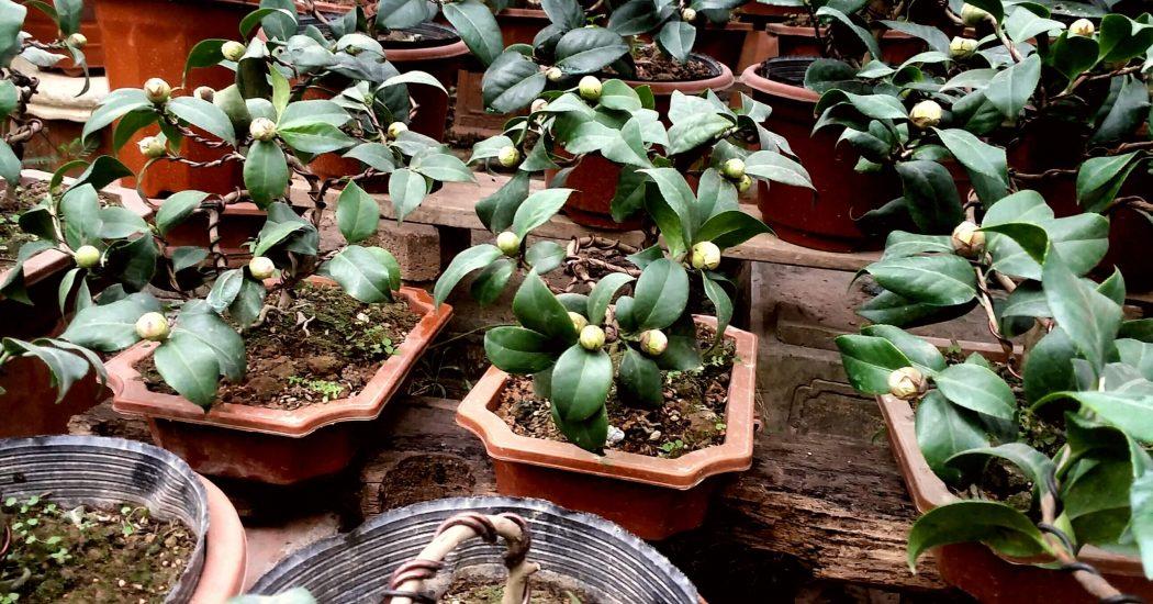 Cây hoa trà ưa sống ở nơi thoáng gió nhưng nếu gió lùa hoặc mạnh thì cây cũng ảnh hưởng.
