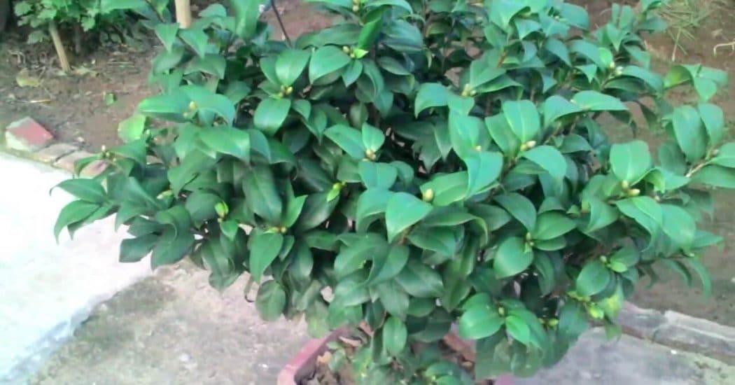 cây hoa trà cung đình