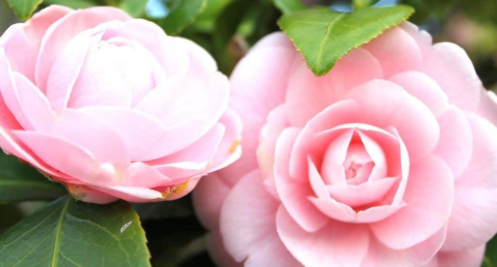 những bông hoa trà khoe sắc