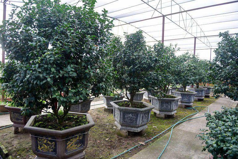 Cách trồng và chăm sóc Cây Hoa Trà