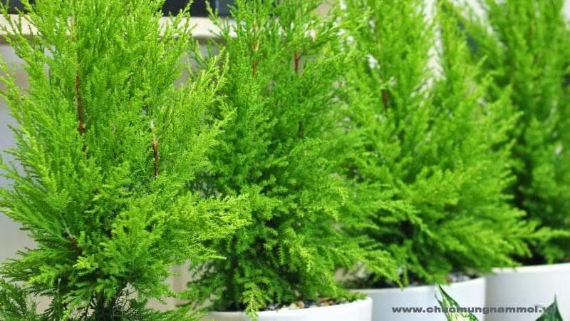 cách chăm sóc những cây tùng thơm hiệu quả