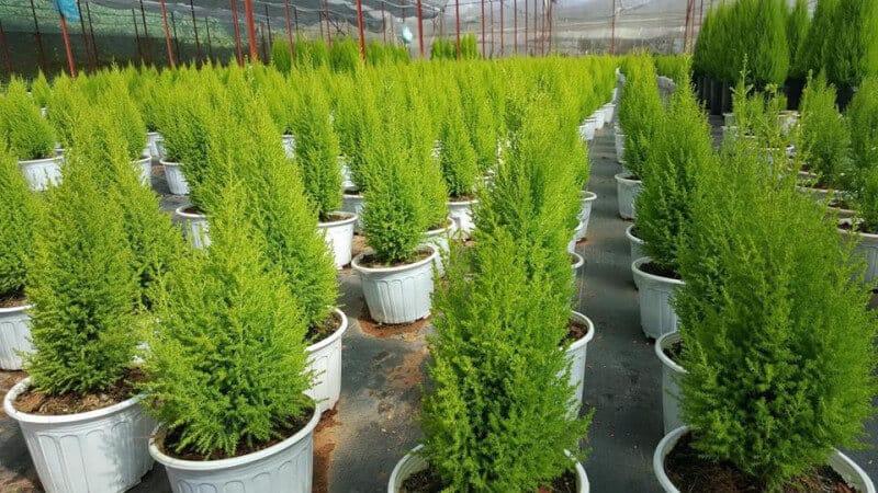cây tùng thơm được trồng nhiều nơi