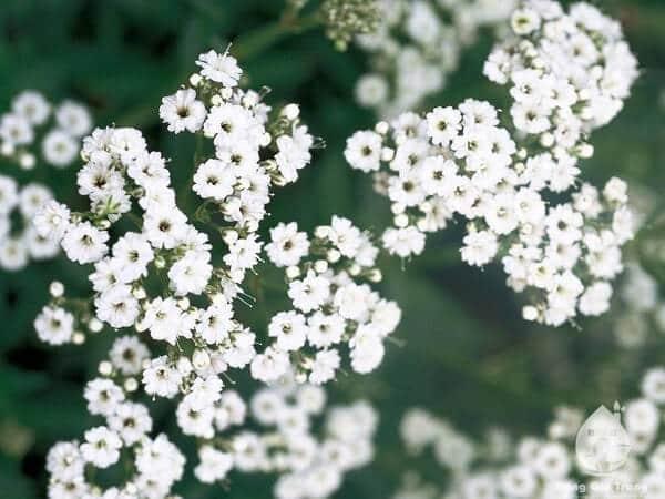 những bông hoa baby tươi đẹp
