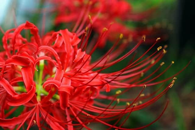 bông hoa bỉ ngạn màu đỏ tuyệt đẹp