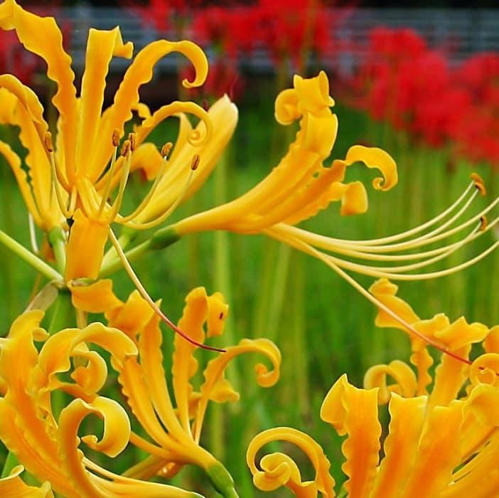 khu vườn hoa bỉ ngạn màu vàng trong ánh nắng sớm mai