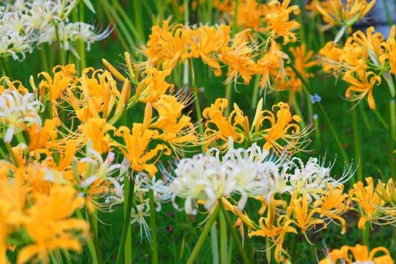hoa bỉ ngạn màu vàng xen lẫn màu trắng