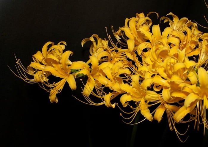 hoa bỉ ngạn màu vàng khoe sắc trong bóng tối