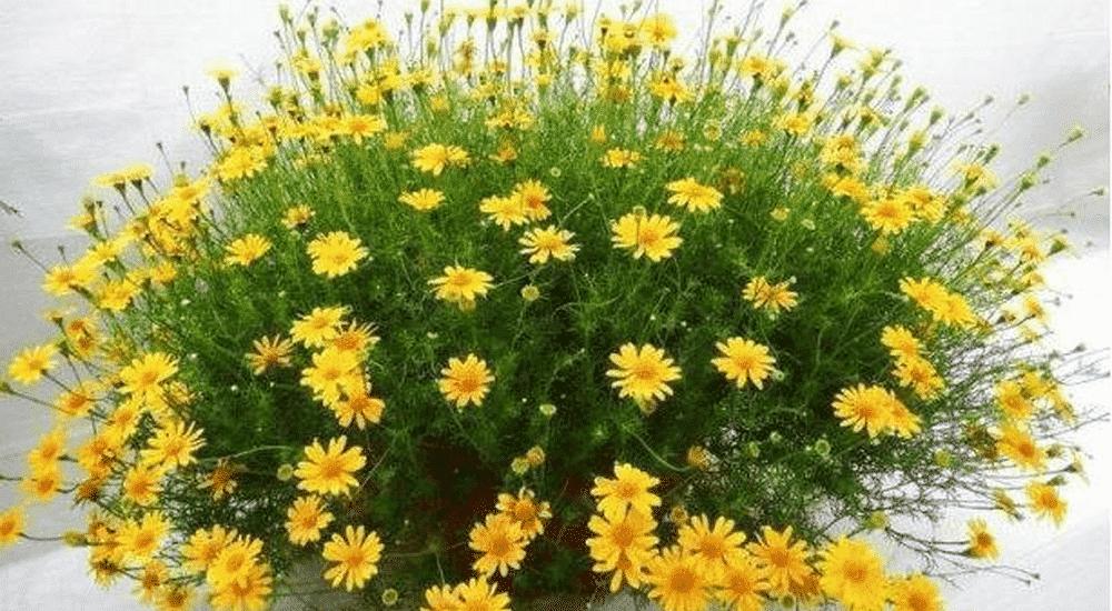 Cách trồng và chăm sóc Hoa Cúc Sao Băng đẹp