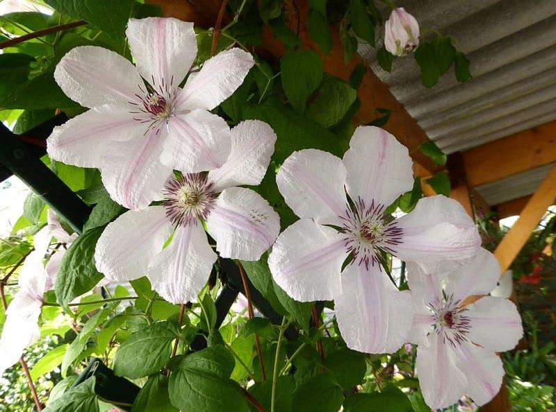 Vẻ đẹp Hoa Ông Lão -loài hoa trái lập với cái tên