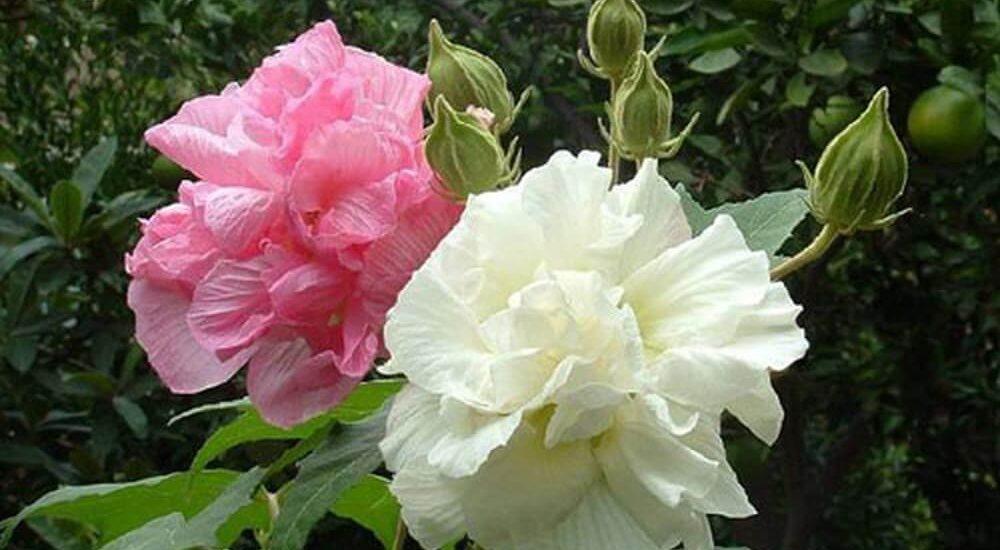 hoa phù dung trắng