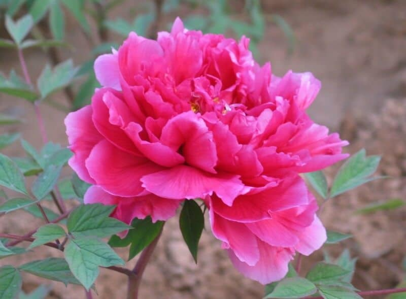vẻ đẹp hoa phù dung
