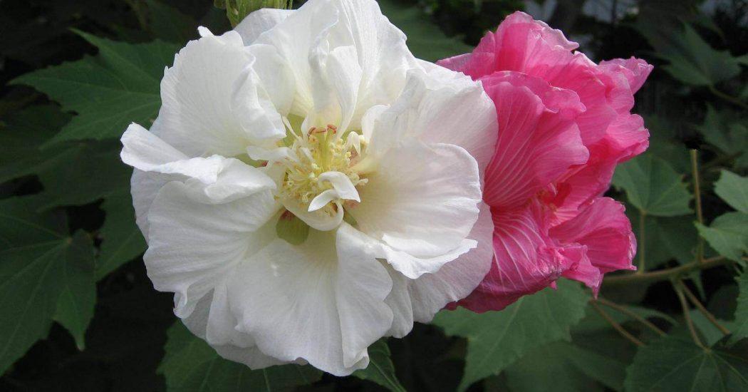 hoa của cây phù dung