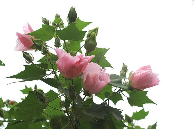 hoa cây phù dung rất đẹp