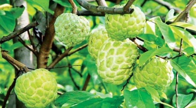Kỹ thuât trồng cây na thái cho nhiều quả