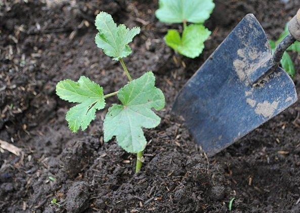 chăm sóc cây đậu bắp