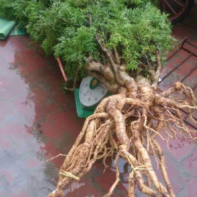 bộ rễ cây đinh lăng