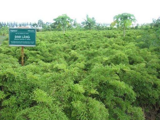 cây đinh lăng sắp cho thu hoạch