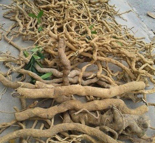 kỹ thuật trồng cây đinh lăng cho năng xuất cao rễ cây đinh lăng khô