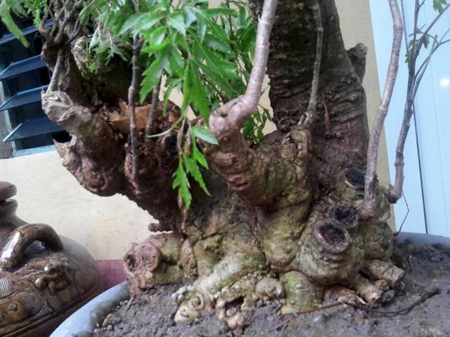 cây đinh lăng lớn