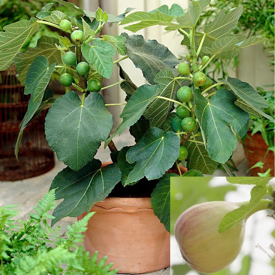 cây sung mỹ trồng trong chậu