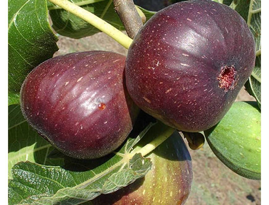 Kỹ thuật trồng và chăm sóc cây sung mỹ