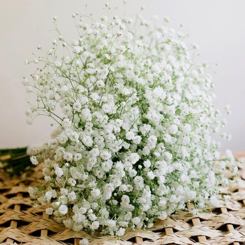 Hạt giống hoa baby trắng cần chú ý khi chăm sóc như sau