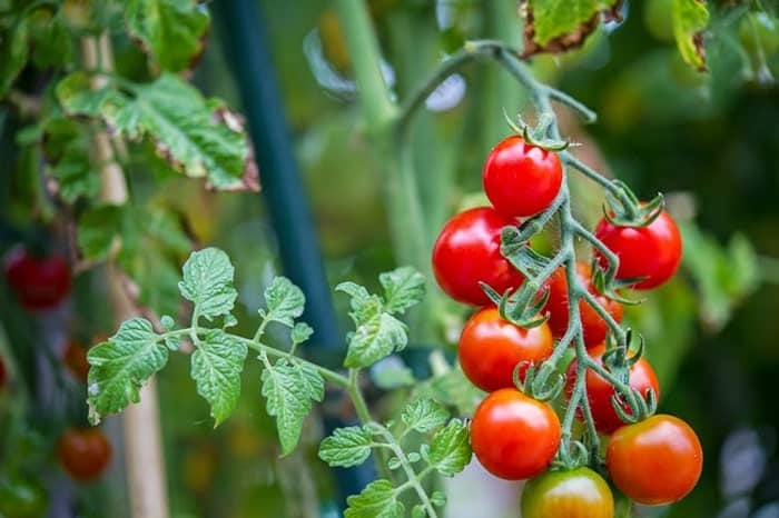 Kỹ thuật trồng và chăm sóc cà chua bi quả tròn đỏ