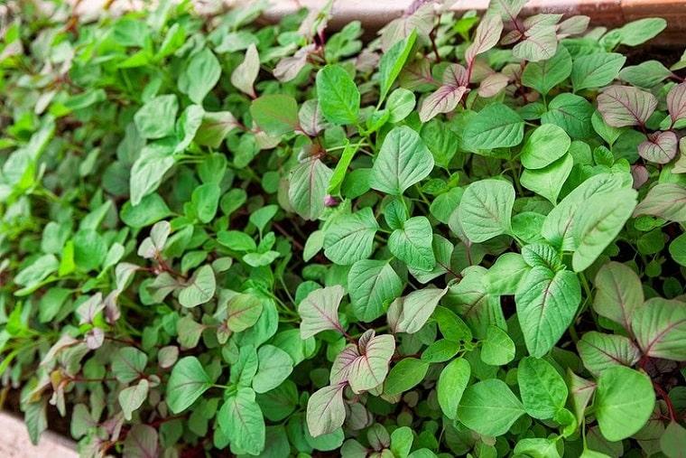 rau dền xanh lá liễu phát triển