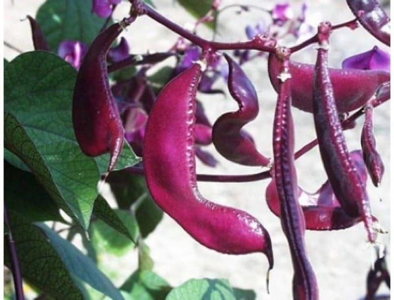 Ngâm ủ và gieohạt quảđậu ván đỏ