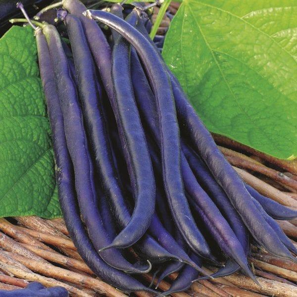 những trái đậu cove leo tím căng tròn