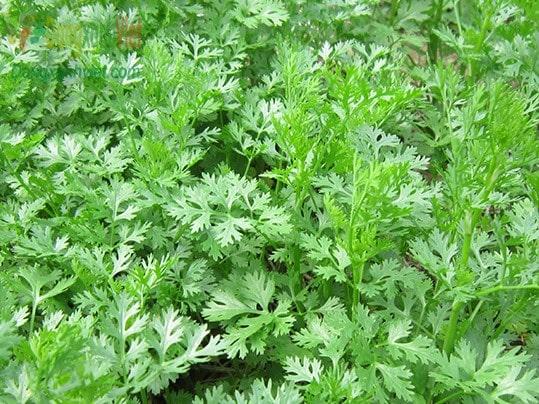Thời vụ trồng rau mùi đạt năng xuất cao