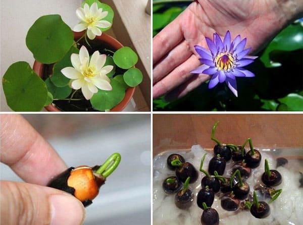 Cách trồng và chăm sóc sen nhật mini