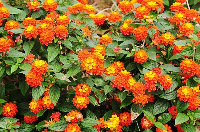hoa cúc ngũ sắc đẹp