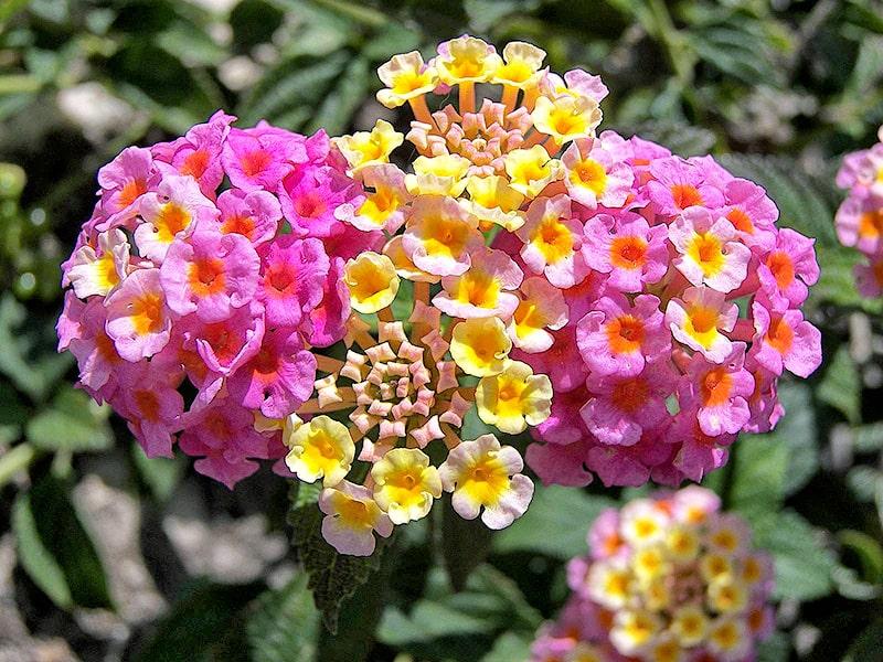 Kỹ thuật chăm sóc hoa ngũ sắc khoe sắc