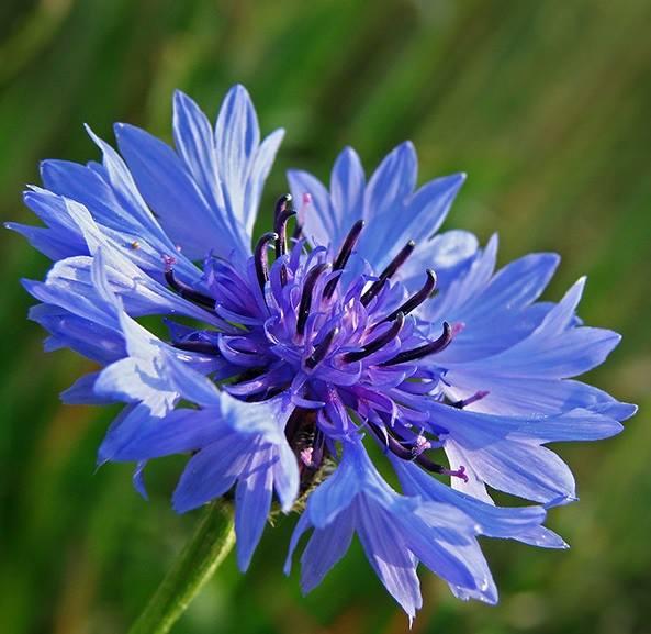 Cách trồng và chăm sóc hoa Thanh cúc vasilet