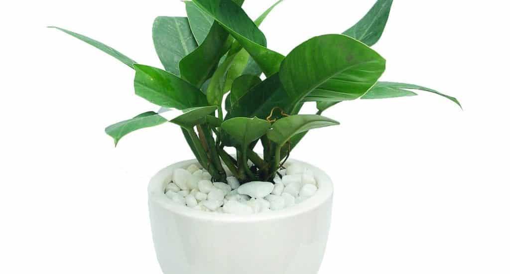 tuổi canh thân trồng cây gì trong nhà