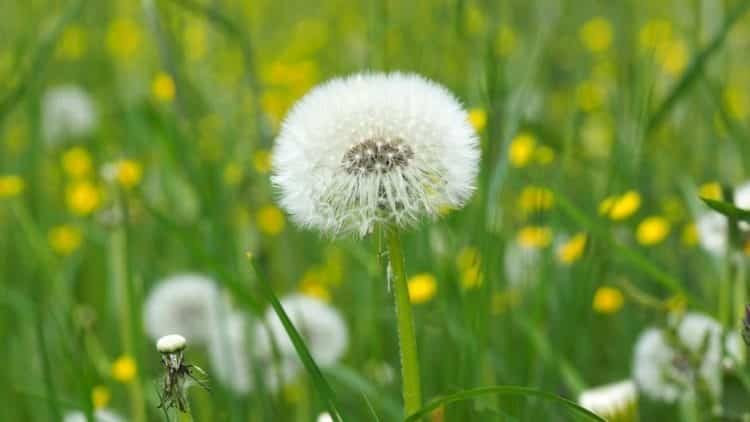 bông hoa bồ công anh tuyệt vời