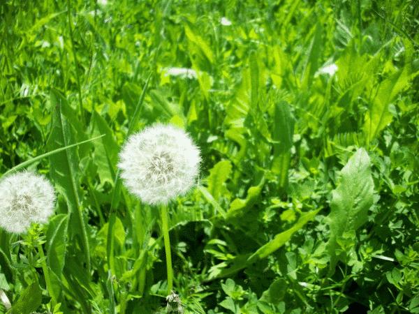 cây hoa bồ công anh ra hoa đẹp