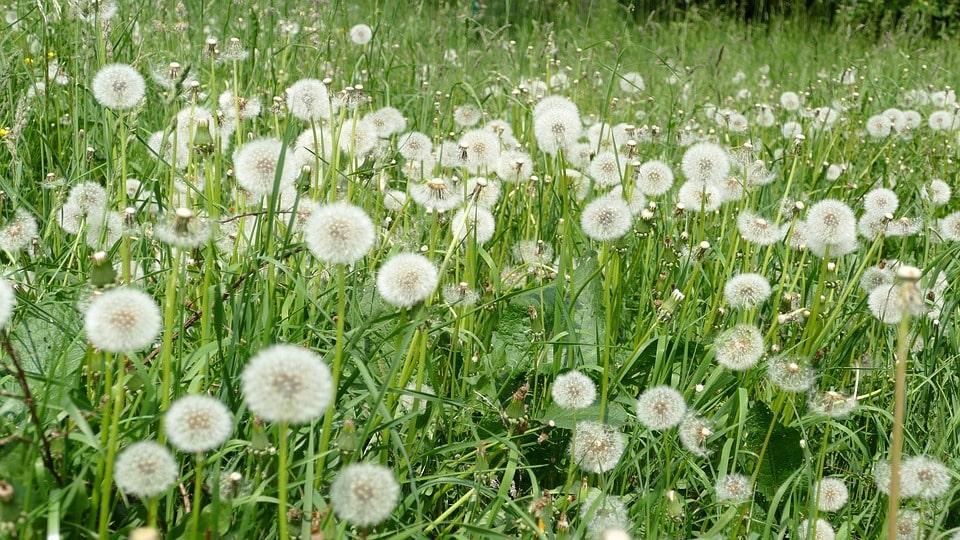 vườn hoa bồ công anh đẹp nhất