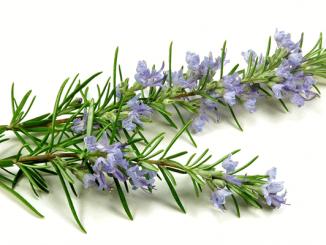 Cây hương thảo có tác dụng gì? đuổi muỗi- ý nghĩa phong thủy 4