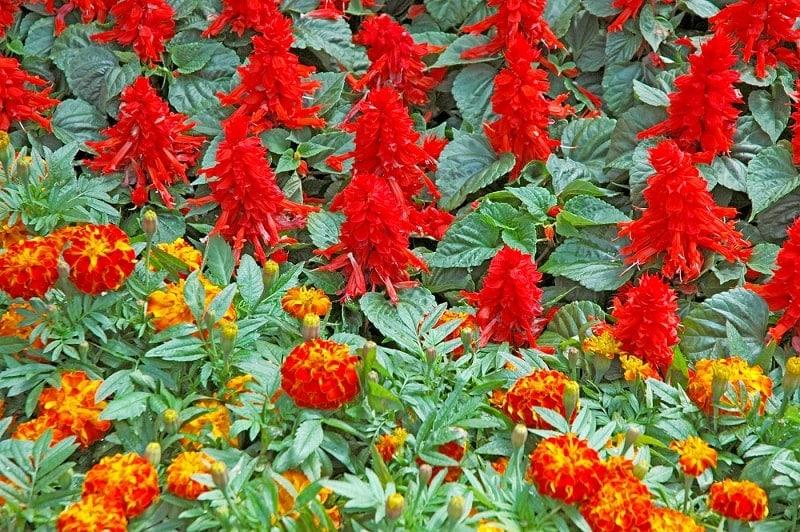 hoa xác pháo đỏ đẹp giữa khu phố