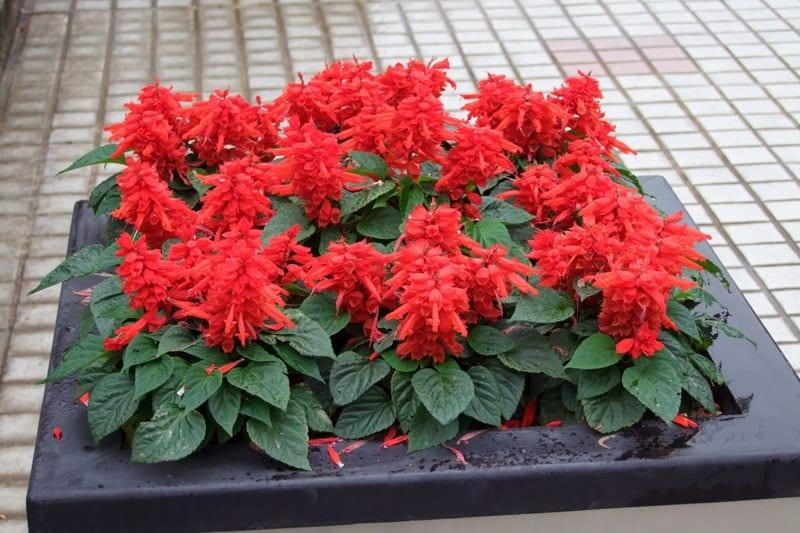 Chăm sóc cây hoa sắc pháo đỏ
