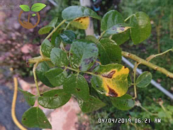 bệnh đốm lá trên cây hoa hồng