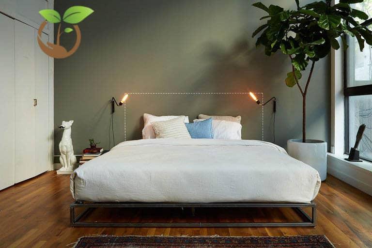 Cây bàng Singapore trong phòng ngủ