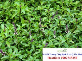 Cây hương nhu, tác dụng và cách dùng chữa bệnh 2